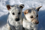 North America, USA, Alaska, Skagway. Puppies at dog camp on a &quot;Glacier Dog-Sledding&quot; shore excursion in Alaska.