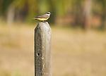 Tropical kingbird, Tyrannus melancholicus, near Tarcoles, Costa Rica