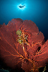 Gorgonian fan coral with diver.