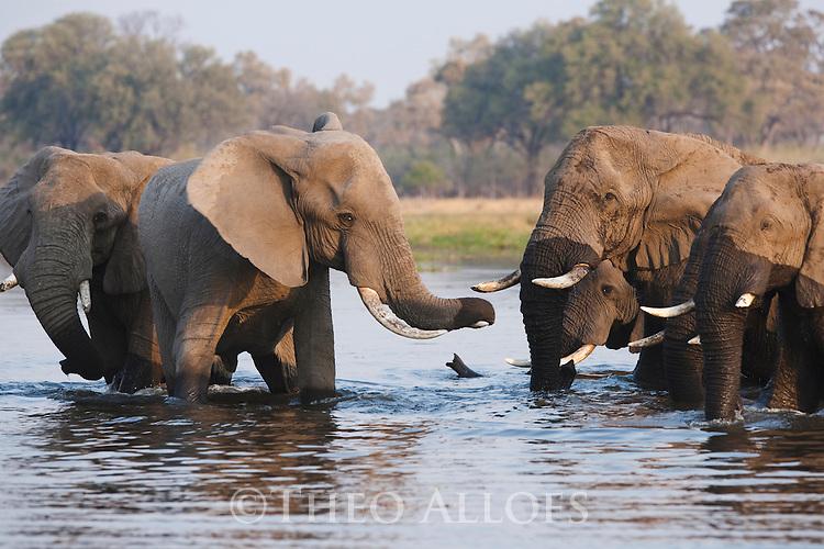 Botswana, Okavango Delta, Moremi Game Reserve, African elephant bulls (Loxodonta africana) drinking in river