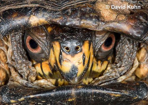 1002-0803  Close-up of Head of Male Eastern Box Turtle (Tucked in Shell), Terrapene carolina © David Kuhn/Dwight Kuhn Photography.