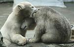 Foto: VidiPhoto<br /> <br /> RHENEN - Zich onbewust van het feit dat ze nu eindelijk een naam hebben gekregen, zijn de twee jonge ijsbeertjes van Ouwehands Dierenpark in Rhenen maandag flink aan het dollen met elkaar. Het vermoeden van de dierverzorgers is bevestigd: de ijsbeertweeling bestaat uit een mannetje en vrouwtje. Het geslacht van beide dieren is met zekerheid vastgesteld uit observaties door de glazen wand van het ijsberenverblijf, gecombineerd met verschillende gedragingen zoals de manier van plassen. De twee jongen hebben de namen Akiak (mannetje) en Sura (vrouwtje) gekregen. Deze namen betekenen in het Inuit, respectievelijk &lsquo;dapper&rsquo; en &lsquo;nieuw leven&rsquo;. Door de opwarming van de aarde gaat het steeds slechter met de ijsberen. Om aan voedsel te komen moet ze steeds grotere afstanden zwemmen. Ouwehands Dierenpark is zeer succesvol in het fokken van deze bedreigde diersoort. De ijsbeer is met name op de lijst van bedreigde diersoorten gekomen vanwege de gevolgen van de klimaatverandering. Het fokprogramma is zeer belangrijk voor het in stand houden van de soort.