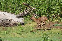 Europäisches Reh, Rehwild, Reh-Wild, Kitz tobt spielerisch herum, Jungtier, Tierbaby, Capreolus capreolus, roe deer