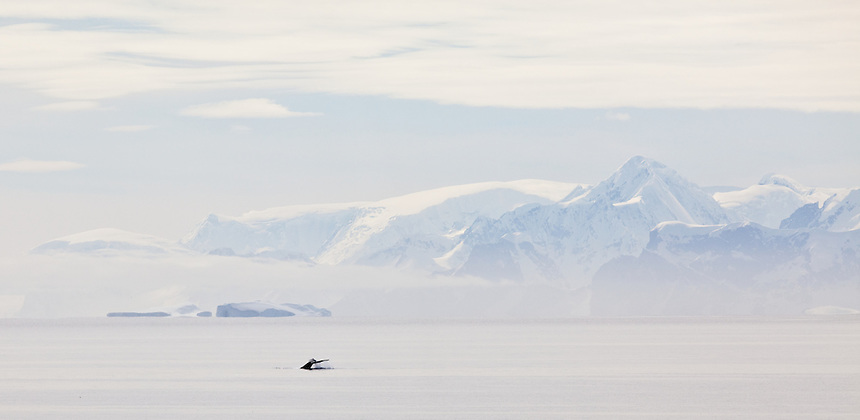 Humpack whale dives in Antarctica