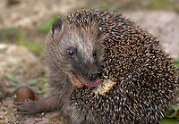 Europäischer Igel speichelt sich ein, Westigel, Braunbrustigel, Erinaceus europaeus, Western hedgehog, Hérisson d`Europe de l`Ouest