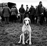 The Duke of Beauforts Hunt. The Beaufort hunt fifteen and a half couple of hounds, though 60 couple are kept in kennels. Luckington, Gloucestershire. Hunting with Hounds / Mansion Editions (isbn 0-9542233-1-4) copyright Homer Sykes. +44 (0) 20-8542-7083. < www.mansioneditions.com >..