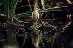 A single Squacco Heron perched on branch in the shallows near the bank of Lake Naivasha in Kenya, Africa.