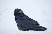 Common raven on the snowy tundra in arctic, Alaska.