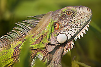 Close-up view of a wild Green Iguana (Iguana iguana), Mato Grosso, Pantanal, Brazil