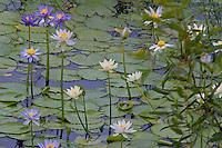Flowering water lilies are abundant in flats outside Karumba AU