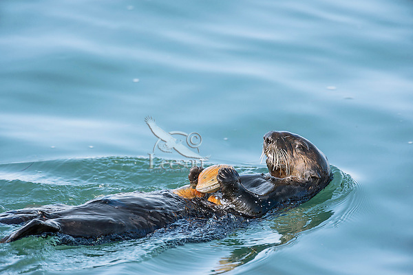 Southern sea otter (Enhydra lutris nereis) using tool--cracking open clam on a clam shell.  California Coast.