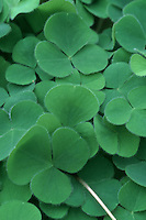 Shamrock Oxalis rupestris clover iconic symbol of Ireland and good luck