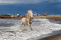 Camargue Horse running in surf, southern France