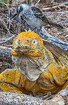 Land iguana and mockingbird, Galapagos Islands, Ecuador