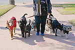 Dog Walker With Many Dogs