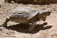 0609-1029  Desert Tortoise (Mojave Desert), Gopherus agassizii  © David Kuhn/Dwight Kuhn Photography