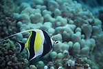 Moorish Idol, Zanclus cornutus, Little Cathedrals, (Linnaeus, 1758), Lanai Hawaii,