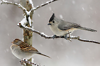 Small songbirds suffer the most during harsh winters. The problem is particularly severe for birds with small bodies. (Titmouse & Sparrow)