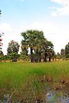 Cambodian Rice Paddy
