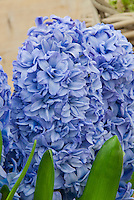 Hyacinth Blue Tango flowers