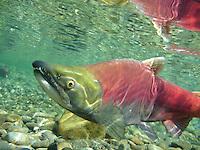Sockeye Salmon, Underwater