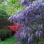 Wisteria in garden in British Columbia.