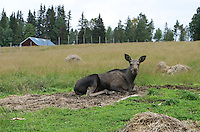 Moose (Alces alces) at Moose Garden, a moose farm outside the city of Østersund in Sweden.