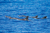 Rough-toothed Dolphins, surfacing, Steno bredanensis, off Kona Coast, Big Island, Hawaii, Pacific Ocean.