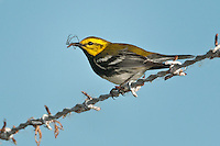 Black-throated Green Warbler with spider.
