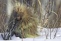 Porcupine pauses while eating some leaf buds