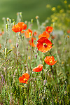 Colorful poppies nodding their heads in the summer sun
