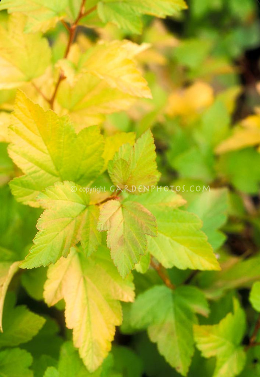 Yellow turning to green foliage leaves of shrub Physocarpus opulifolius 'Dart's Gold'