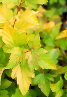 Physocarpus Stock Images Ninebark Shrub Foliage Plant