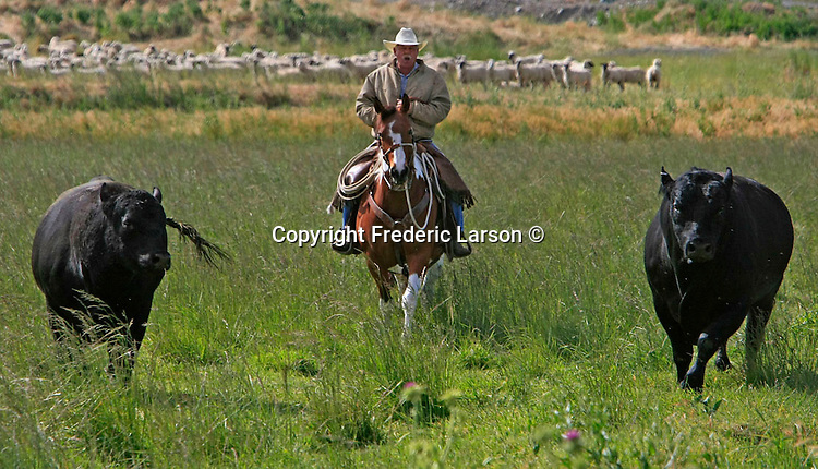 Page Baldwin a rancher herds some troublesome bulls on his ranch in Rio Vista, California.