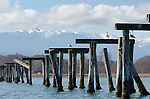 The old Dungeness-Sequim pier, now no more than pilings and a bird roost. 100 years ago, it was a hotspot on the peninsula.