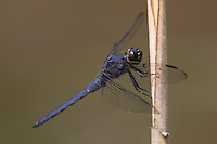 Slaty Skimmer (Libellula incesta) Dragonfly - Male, Doodletown Road, Bear Mountain State Park, Stony Point, Rockland County, New York