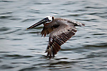 pelican flying Charleston sc
