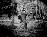 Working elephant uses mouth to lift logs, Kandy, Sri Lanka. Most working elephants in India, Burma and Thailand employ harnesses to drag timber.  Sinhalese mahouts believe that by lifting logs in their mouths, elephants are less likely be injured by being forced to move too much weight by an abusive mahout..