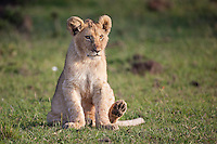 Young lion cub sitting on short grass facing into the setting sun waiting for its mother in the Masai Mara Reserve, Kenya, Africa (photo by Wildlife Photographer Matt Considine)