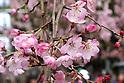 Cherry blossom season officially starts