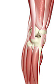 An anterolateral view (right side) of the muscles of the right knee. Royalty Free
