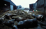 21 day old carcases of Robert Hext's dairy herd in Chulmleigh, Devon.  His herd was killed on a  contiguous cull however it  was later found out that his herd was neither contiguous and that the farm that was supposed to be infected with foot and mouth  infact tested negative..It was suggested at the time that the rotting carcases  were not removed by the military due to Bob Hext's angry response.