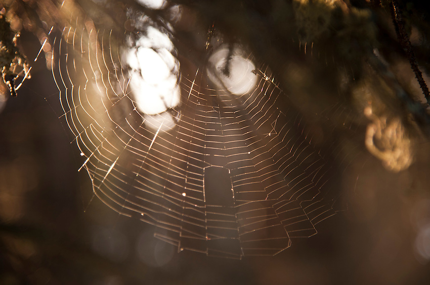 Detail of a spider web in the thick interior woods of Isle Royale National Park in Michigan USA.
