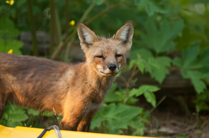 A red fox visits a kayak campsite on Isle Royale National Park.