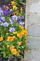 Pansy flowers in orange, blue and purple, next to stone walkway in garden bed