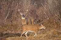 Whitetail buck (Odocoileus virginianus)with doe during the fall rut