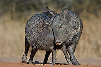 650520244 wild javelina or collared peccaries dicolyties on beto gutierrez santa clara ranch hidalgo county lower rio grande valley texas united states