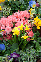 pink Azalea rhododendron in flower,dwarf Narcissus, ivy, viola spring plant combination in pot container, with herbs mint and thyme