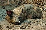 Heritage Pigs - Glen P Backes - Pig Farm