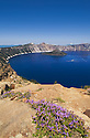Penstemon wildflowers, Crater Lake and Wizard Island from Garfield Peak Trail; Crater Lake National Park, Oregon.
